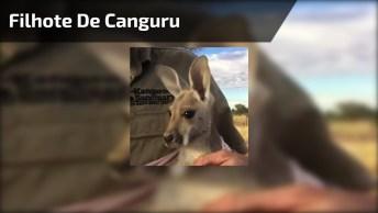 Vídeo Com Filhote De Canguru Que Ficou Órfão Procurando Uma Bolça!
