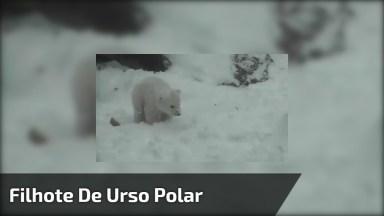 Vídeo Com Filhote De Urso Polar, Olha Só Que Coisinha Mais Fofa!