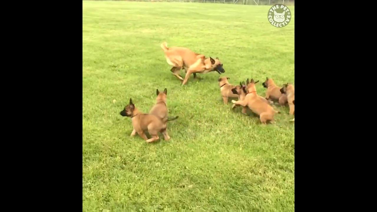 Vídeo com filhotes de cachorros
