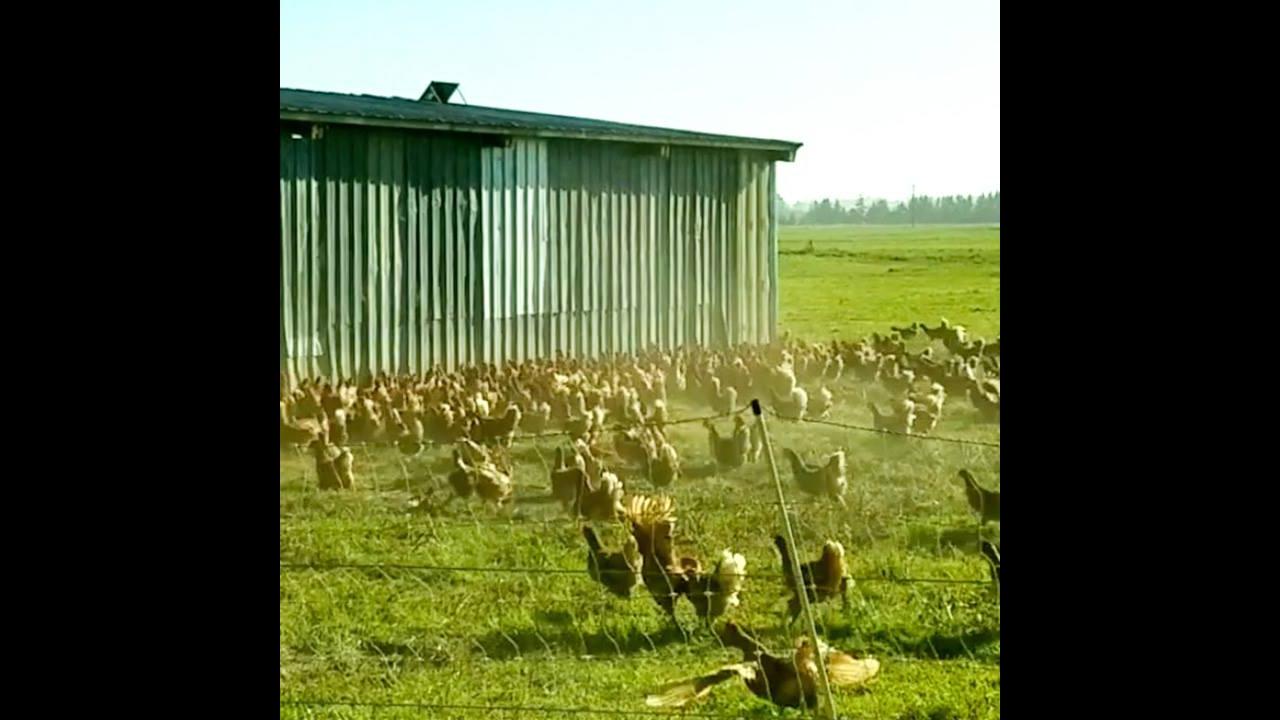 Vídeo com galinhas, quem disse que elas não são inteligentes