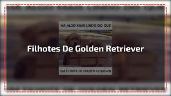 Vídeo Com Imagens De Filhotes De Golden Retriever, Como Eles São Fofos!