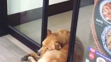 Vídeo Com Os Cães Mais Preguiçosos Que Você Já Viu, Olha Só O Que Eles Aprontam!