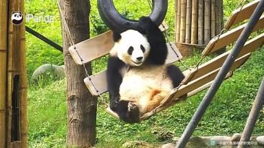Video De Animal - Urso Panda Descansando No Balanço, Confira!