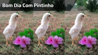 Video De Bom Dia Com Pintinho Cantando, Ficou Bem Engraçado E Fofinho!