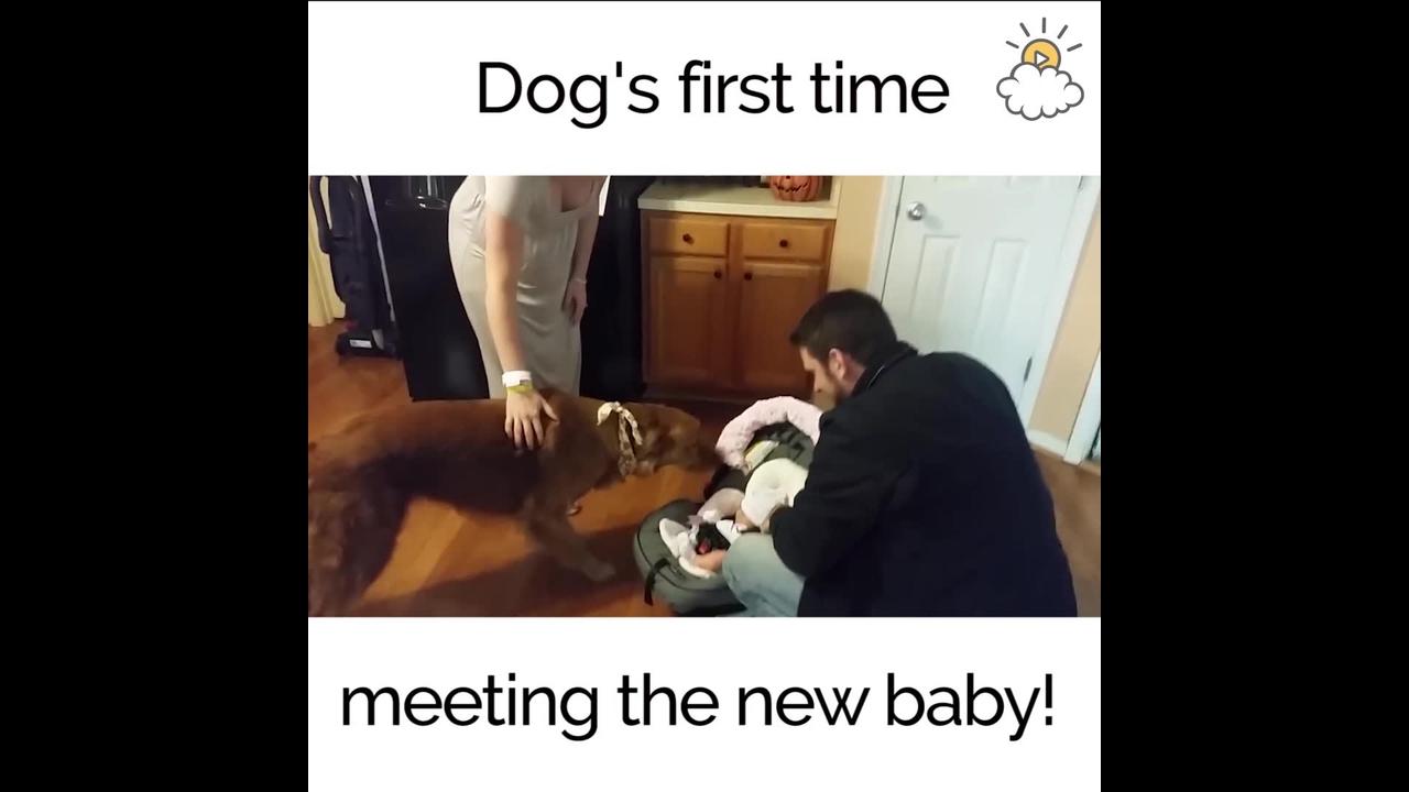 Vídeo de cachorro recebendo pela primeira vez o bebê em casa