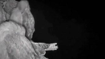 Vídeo Impressionante Do Momento Em Que Uma Coruja Caça Um Filhote De Gavião!