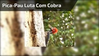 Vídeo Incrível De Um Pica-Pau Lutando Com Uma Cobra Em Uma Árvore!