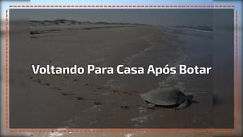 Vídeo Incrível Mostrando Tartaruga Marinha Voltando Para O Mar!