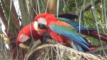 Vídeo Mostrando 5 Especies De Araras Diferente, Vale A Pena Conferir!