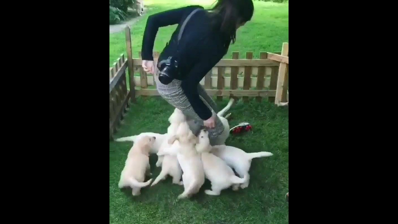 Vídeo mostrando ataque de fofura, veja estes filhotes de cachorros lindos!!!