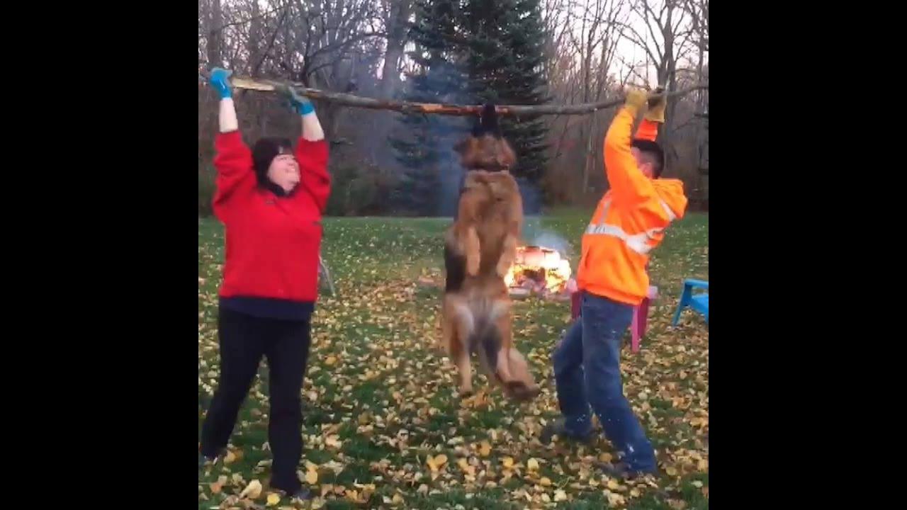 Vídeo mostrando como é divertido ter um cachorro da raça Pastor Alemão