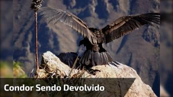 Vídeo Mostrando Condor Sendo Devolvido Para Natureza, Veja Que Lindo!
