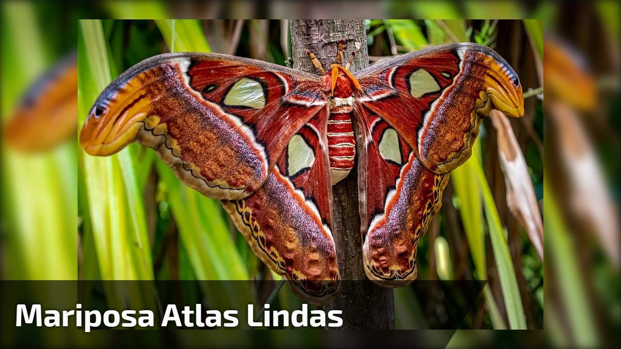 Mariposa atlas lindas