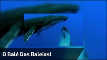Vídeo Mostrando O Balé Das Baleias, Simplesmente Maravilhoso!