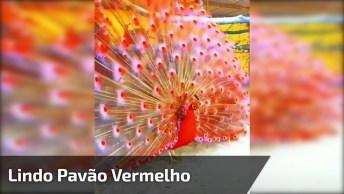 Vídeo Mostrando O Lindo Pavão Vermelho A Especie Mais Rara Do Mundo!