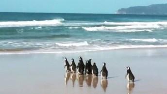 Vídeo Mostrando O Momento Em Que Pinguins São Devolvidos Para Natureza!