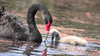 Vídeo Mostrando Os Belíssimos Cisnes Negro E Seus Filhotes!