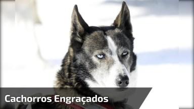 Vídeo Mostrando Os Huskys Siberianos Mais Engraçadinhos Que Você Já Viu!