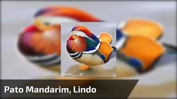 Vídeo Mostrando Pato Mandarim, Um Animal Lindo Cheio De Cores!