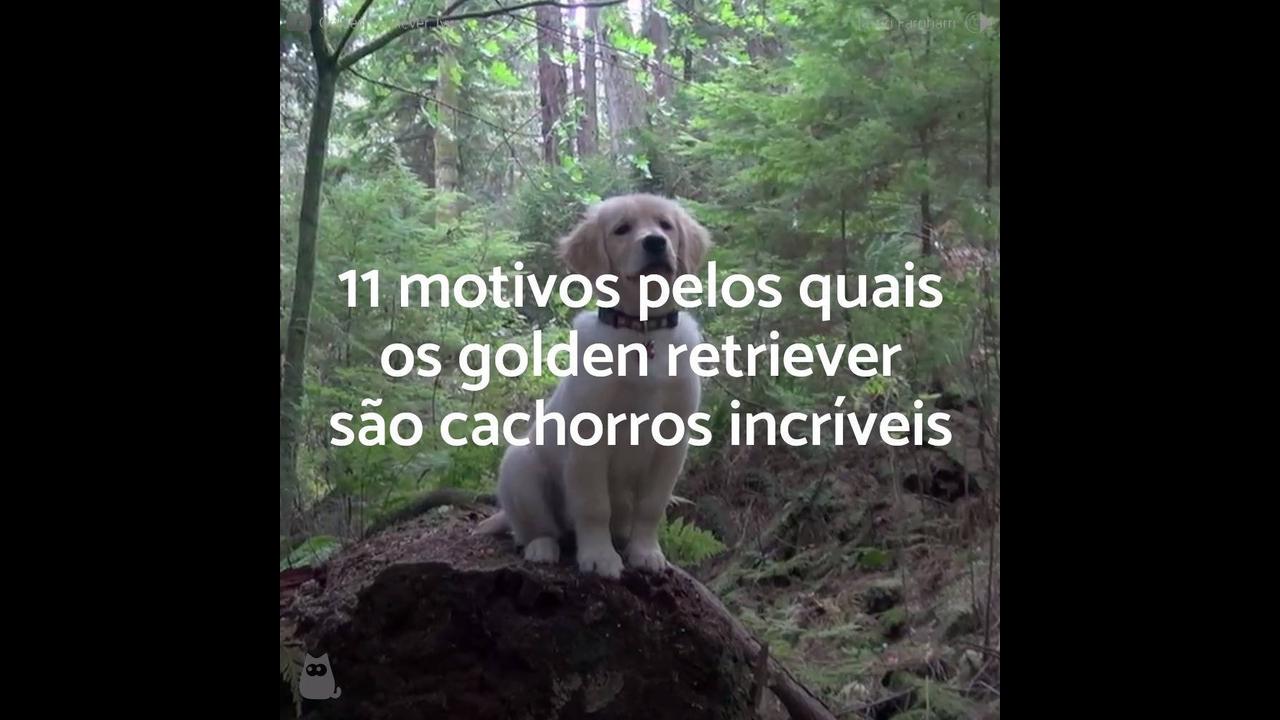 Vídeo mostrando porque os cães da raça Golden Retriever são ótimos animais