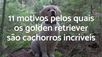 Vídeo Mostrando Porque Os Cães Da Raça Golden Retriever São Ótimos Animais!