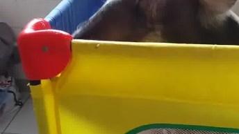 Vídeo Mostrando Porquinha Que Foi Resgata De Abatedouro, Olha Só A Carinha Dela!