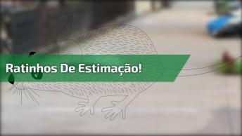 Vídeo Mostrando Ratinhos De Estimação, E Ratinhos Selvagens!
