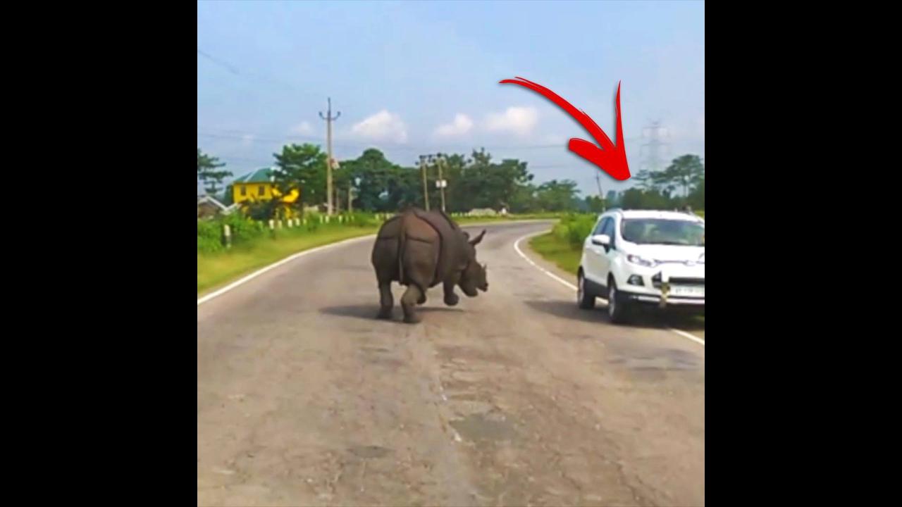 Vídeo mostrando rinoceronte perdido em estrada