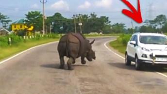 Vídeo Mostrando Rinoceronte Perdido Em Estrada, Olha Só Que Susto!