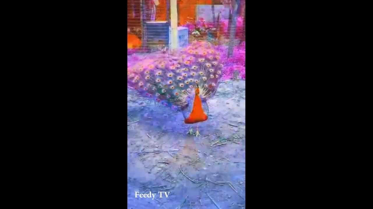Vídeo mostrando um pavão vermelho