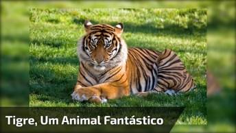 Vídeo Mostrando Um Tigre, Este Animal Lindo E Cheio De Força!