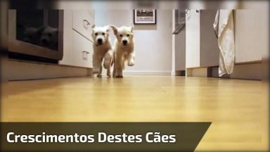 Vídeo Muito Legal Mostrando O Crescimentos Destes Cães, Olha Só Que Fantástico!