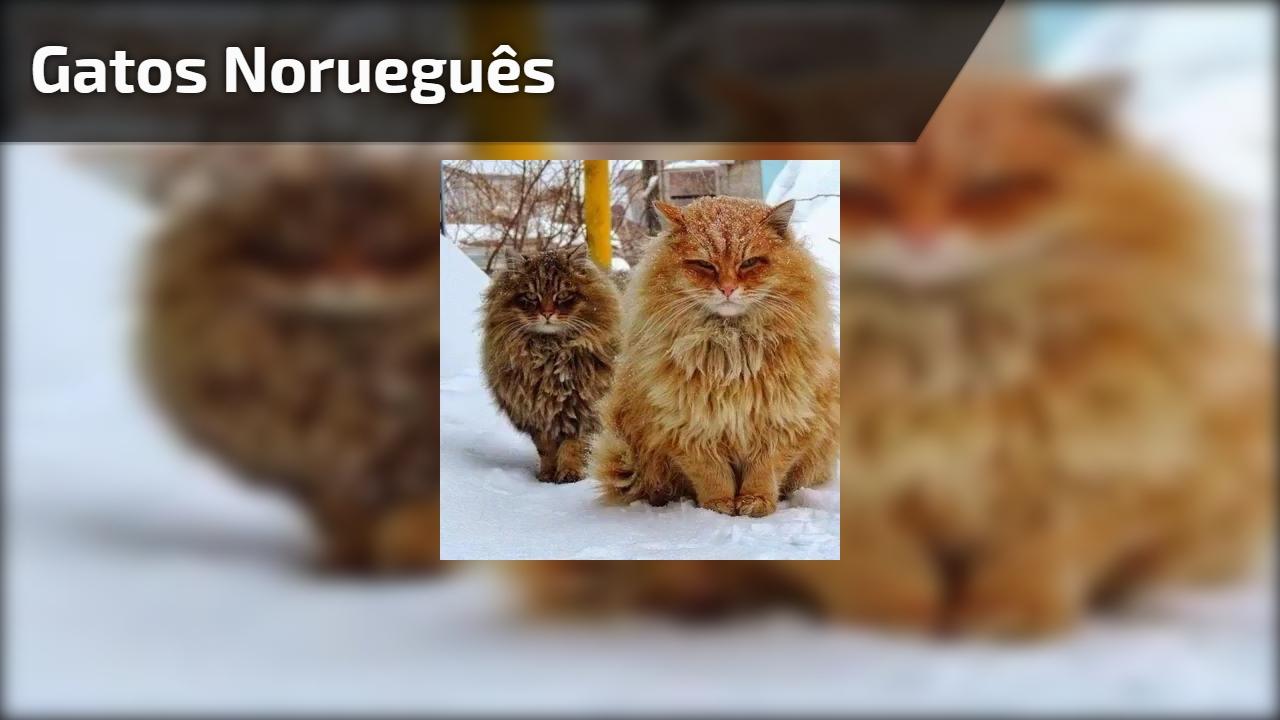 Você conhece esta raça de gato? Este é o gato norueguês, confira!!!