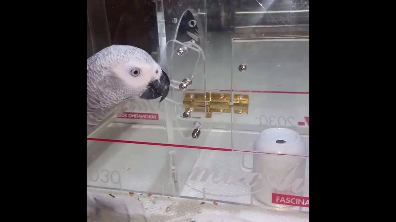 Você não vai acreditar no que este papagaio cinzento fez