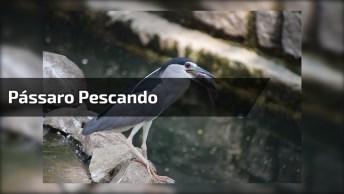 Você Sabe Pescar? Então Aprenda Com Este Pássaro, Ele Sabe, Kkk!