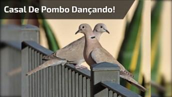 Casal De Pombo Dançando Forró Do Amado Batista, A Música 'Escuta'!