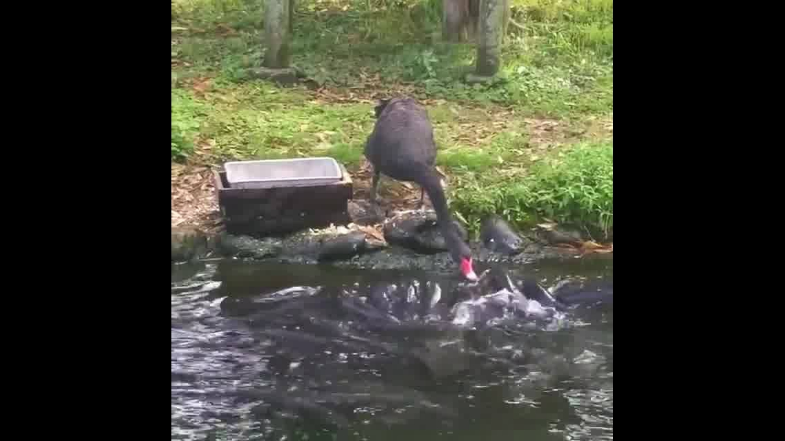 Cisne negro alimentando os peixes em um lago