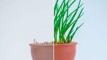 Como Plantar Cheiro Verde Em Um Vaso, De Forma Simples E Perfeita!