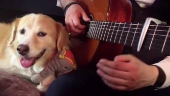 Cachorro Adora Ouvir Seu Dono Tocar Música No Violão, Confira!