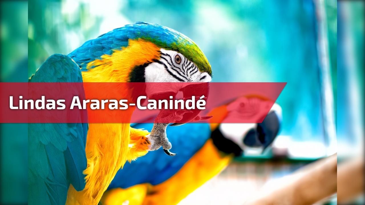 Lindas Araras-canindé