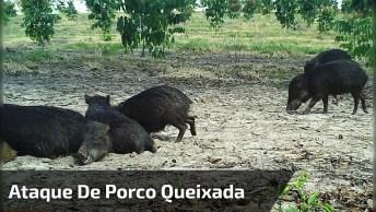 Ataque De Porco Queixada, Um Motivo Para Não Descer Tão Cedo Desta Árvore Kkk!