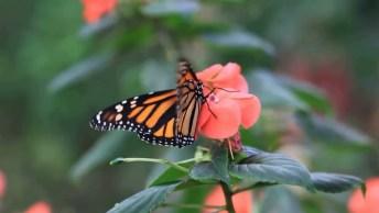 Borboletas Sugando Néctar Das Flores, Como A Natureza É Perfeita!