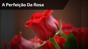 Botão De Rosa, Umas Das Mais Belas E Marcantes Flores Do Mundo!