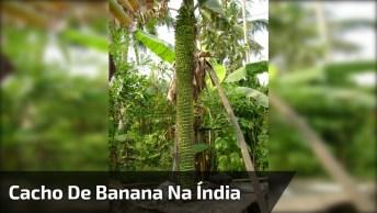 Cacho De Banana Enorme Na Índia, Como A Natureza É Fantástica!