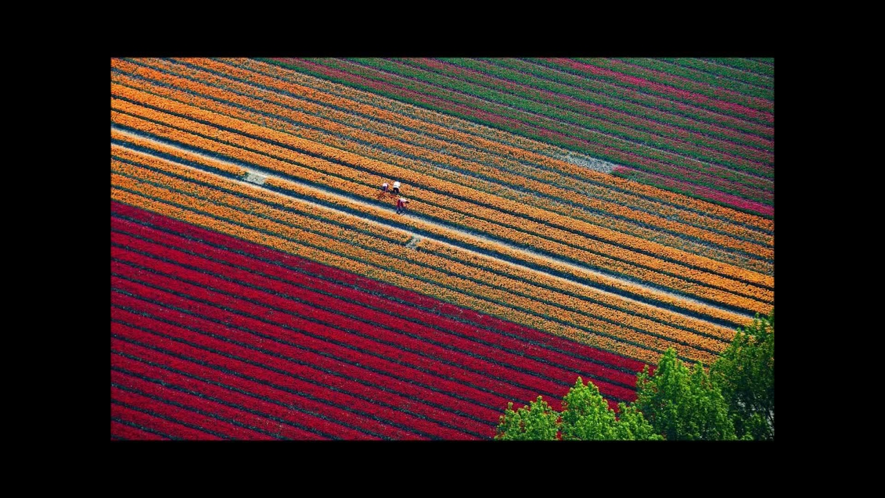 Campo de Tulipas na Holanda que se parece com lindo tapete colorido