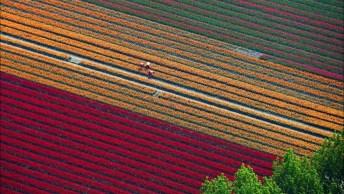 Campo De Tulipas Na Holanda Que Se Parece Com Lindo Tapete Colorido!