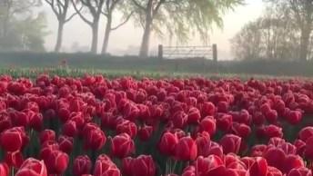 Campo De Tulipas Na Holanda, Veja Que Coisa Mais Linda Estas Flores!