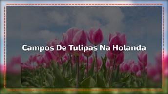 Campos De Tulipas Na Holanda, Veja Que Coisa Mais Linda De Se Ver!