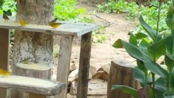 Canarinhos Da Terra Livres Na Natureza, Pois É Assim Que Deve Ser!