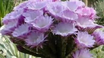 Flores De Cactos Como São Belíssimas, A Natureza É Encantadora!